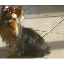 Yorkshire Terrier Hembra Mini 6 Meses