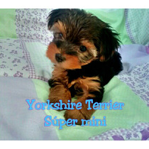 Ultimo Cachorro Yorshire Súper Mini Excelente!!
