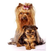 Hermoso Cachorrito Yorkshire Terrier