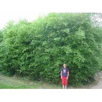 Phyllostachys Aurea / Caña Bambú. 2m De Altura.