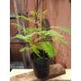 Plantin Doble De Jacaranda