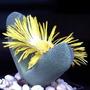 Pleiospilus -semillas De Cactus (pack X 25)