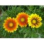 Plantas Gazaña Yerbera Plantines Flores Flor El Viveruski