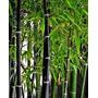 Phyllostachys Nigra / Caña Bambú Negra. 2m De Altura.