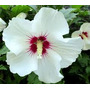 Hibiscus Syriacus Red Heart Rosa China