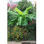 Musa Ornata / Planta De Banana Flor Rosada 2m Adulta