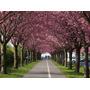 Cerezo Sakura (prunus Serrulata)