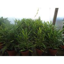 Croton Fideo Planta De Interior Envío A Domicilio