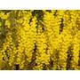 Aromo / Acacia Dealbata 2 M De Altura
