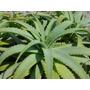 Planta Aloe Arborescens Pulpo Candelabro En Cordoba Capital