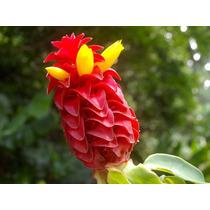 Costus Barbatus En Rizomas, Costus Rojo. Jardines Y Estanque
