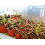 Plantas Carnívoras (drosera Capensis)