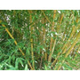 Caña Bambusoide - Phyllostachys Bambusoides