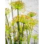 Plantas Para Estanques - Papiro Enano