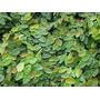 Enamorada Del Muro - Ficus Repens - Envase De 1lt