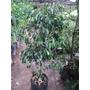 Ficus De 1,20 M. Imperdible Hacemos Envíos Consulte