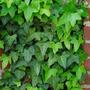 Plantines De Hiedra Hereda