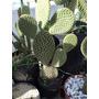 Opuntia Microdasys - Cactus En Maceta De Cultivo De 3 Lts.