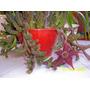 Cactus De Flor Roja Stapelia