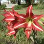 Planta: Amarilis Roja Con Bandas Blancas