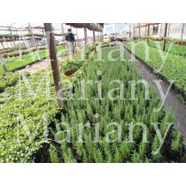 Plantines-aromáticas Cajón -maceta Nº12- 12u $95