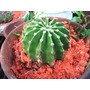Cactus:echinopsis Eyriesii