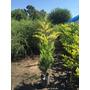 Plantas Leylandis Áureo Injertado Para Cerco 4lts