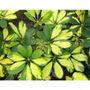 Aralia Schefflera - Arbusto , Plantas De Interior Vivero