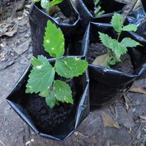 Plantines De Tala, Ombú, Morera, Fresno Americano Y Paraiso.