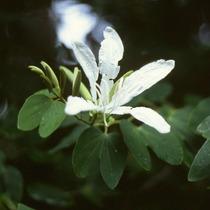 Semillas De Pata De Vaca (arbol Orquídea), Ombú O Ligustrina