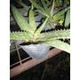 Plantines De Aloe Vera Medicinal M.10 X3 Vivero La Casita