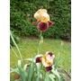 Iris Germanicos De Colores Raros E Iris Botánico.