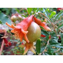 Granada De Fruta Arbusto 15 Lts