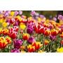 Combos De 5 Tulipanes Multicolores: Listos Para Plantar!!