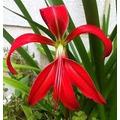 Bulbos Grandes De Flor De Lis, Sprekelia, Ya Aclimatados!!