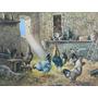 Reproduccion Italiana: Gallos Luce Nel Pollaio 50x70