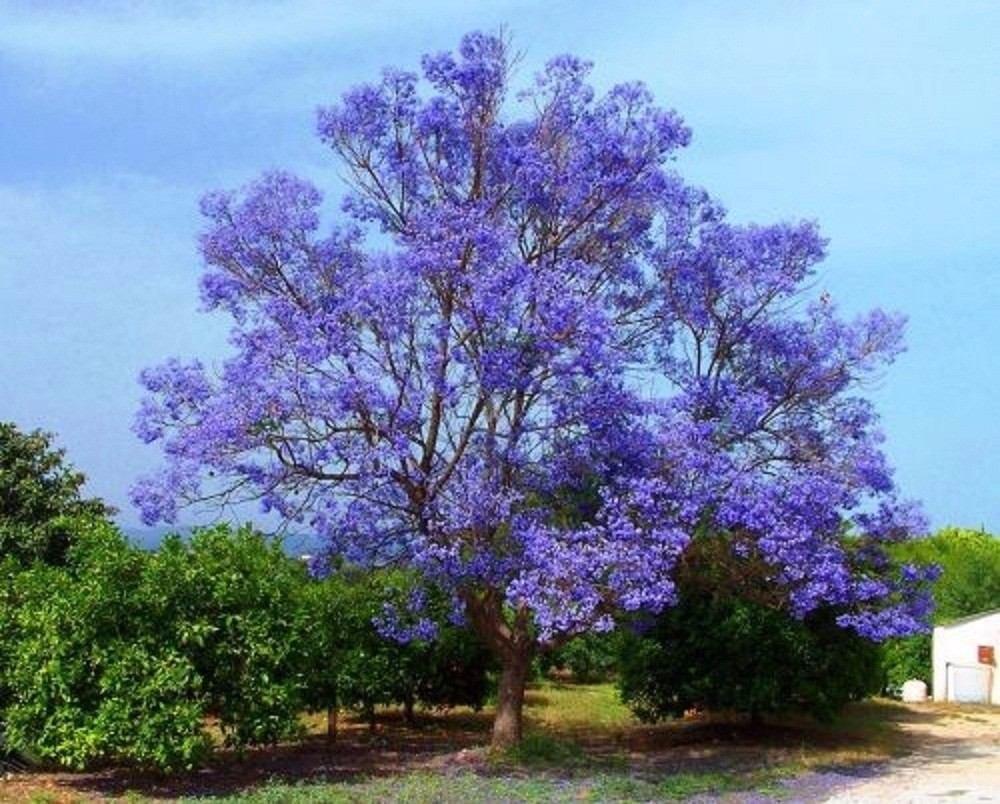 A la luz de la luna. - Página 2 Pre-bonsai-de-kiri-arbol-de-la-emperatriz-pawlonia-tomentosa-565121-MLA20715466244_052016-F