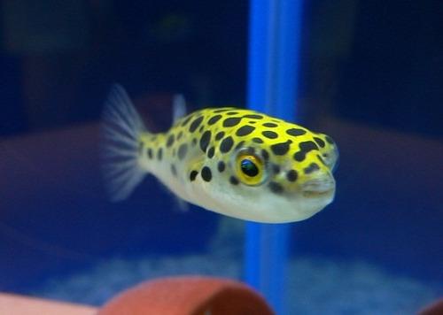 Pez globo alimentacion foro de peces y acuarios de for Comida congelada para peces