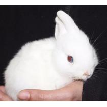 Conejos Enanos Hottot Envio Gratis