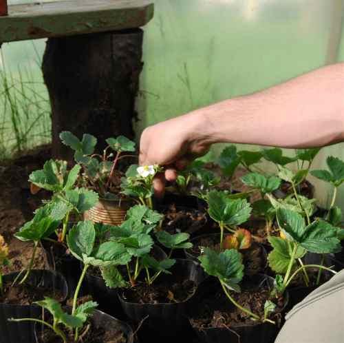Semillas De Frutilla Roja Esferica Producida En Bariloche