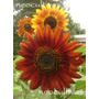 Girasol Earthwalker Flor Roja - 20 Semillas Neocultivos