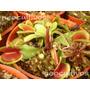 Mix Variedades Venus Atrapamoscas 10 Sem Plantas Carnivoras