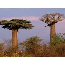 3 Semillas De Baobab - Arbol Botella - Adansonia