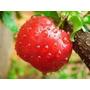 Cereza De Barbados(semillas)=acerola,frutales Exoticos,tropi