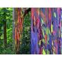 200 Semillas Frescas Eucalipto Arco Iris Eucalyptus Deglupta