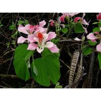 Arbol De Orquideas, Bauhinia Monandra Semillas Para Plantas
