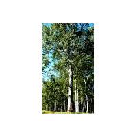 50 Semillas Sembrar Eucalyptus Grandis, Globulus O Camaldule