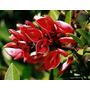 Sobres X 10 Semillas Siembra Ceibo , Bonsai , Jardin Parque