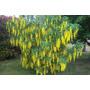 50 Semillas De Lluvia De Oro,flor Gigante:recién Cosechadas!