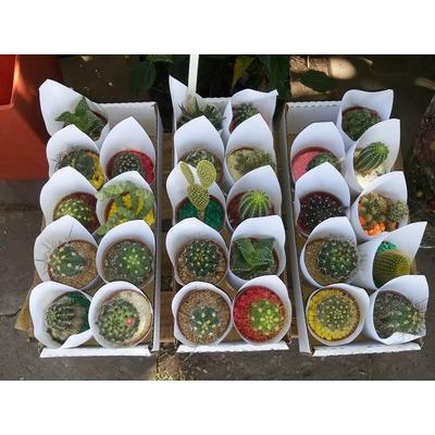 Cactus crasas suculentas carnosas maceta 6 vivero for Vivero online arboles